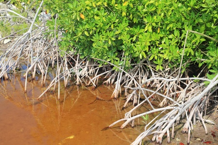 Mangrove plant red water and aerial roots blue sky Mayan Riviera Mexico photo
