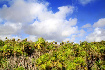 Chit palm trees jungle in Tulum Mayan Riveira Mexico on blue sky photo