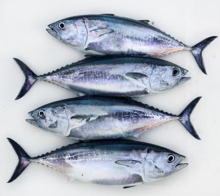 atun: cuatro pescado de at�n de aleta azul Thunnus thynnus atrapar en una fila