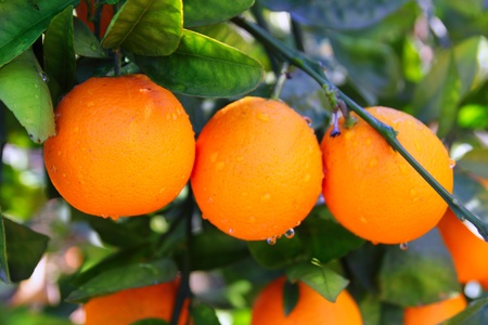 branch orange tree fruits green leaves in Valencia Spain Stock Photo
