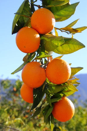 branch orange tree fruits green leaves in Valencia Spain photo
