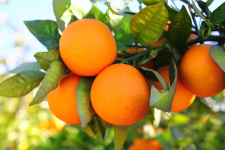 valencia orange: branch orange tree fruits green leaves in Valencia Spain Stock Photo