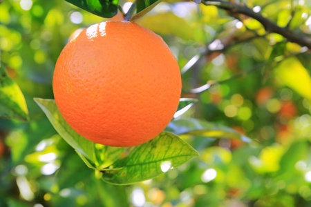tangerine tree: orange tangerine tree fruits green leaves blurred field background Stock Photo