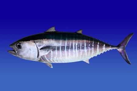 atun rojo: At�n aislados en peces real de fondo azul Thunnus thynnus