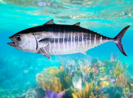 atún: Atún de aleta azul pescado Thunnus thynnus natación submarina en el mar