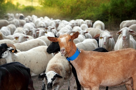 goats and sheep herd flock outdoor track nature animals photo