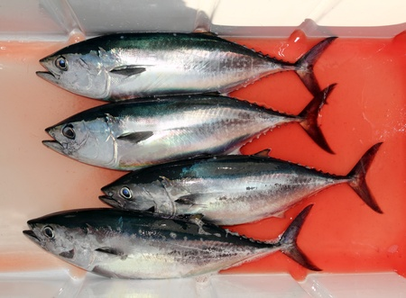 bloody bluefin four tuna fish Thunnus thynnus catch row photo