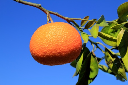 tangerine tree: orange tangerine tree fruits green leaves blue sky