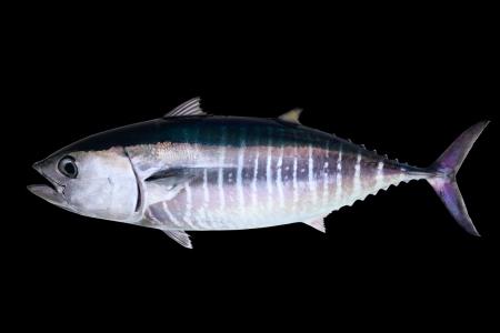 atun rojo: At�n aislados en peces real de fondo negro Thunnus thynnus