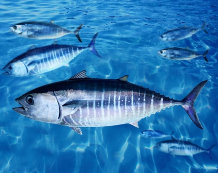 tuna: Bluefin tuna Thunnus thynnus fish school underwater swimming blue ocean