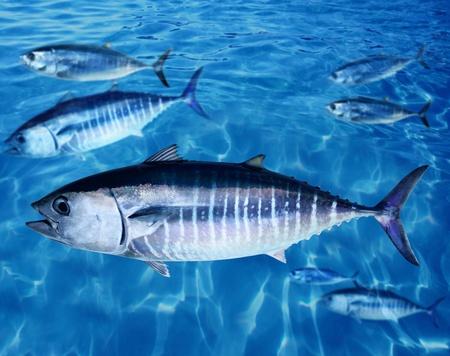 atun: Oc�ano de nataci�n submarina azul de escuela de at�n Thunnus thynnus peces Foto de archivo
