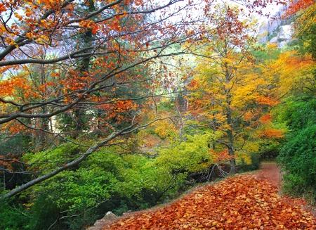 ekosistem: autumn fall beech forest track yellow golden leaves scenics