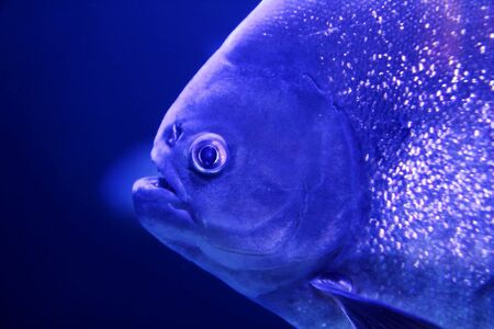 pirana: fish piranha macro face detail blue color water background Stock Photo