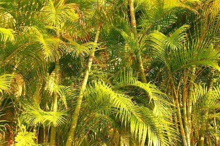 wildlife conservation: Chrysalidocarpus lutescens Areca glaucescens palm trees jungle Stock Photo
