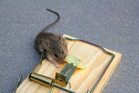 Mouse trap with real mouse catched eating cheese Stock Photo - 9941362