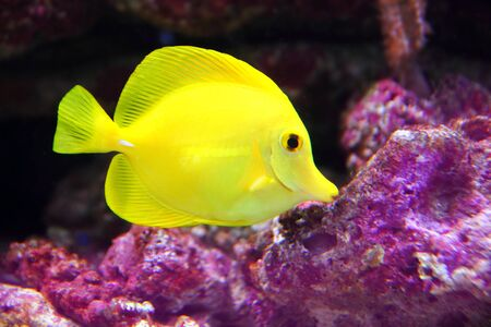 sailfin: Yellow Hawaiian Tang Sailfin Surgeonfish on purple reef Stock Photo