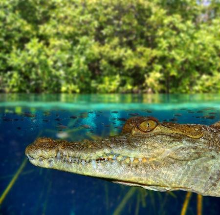 wasserlinie: Crocodile Schwimmen im Mangroven-Sumpf auf ab Wasserlinie