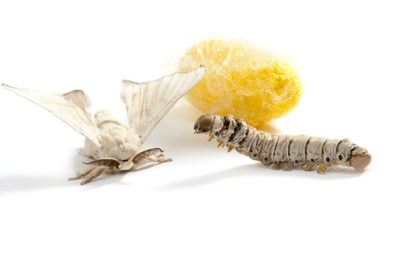 silk thread: butterfly of silkworm with cocoon silk worm showing the three life stages