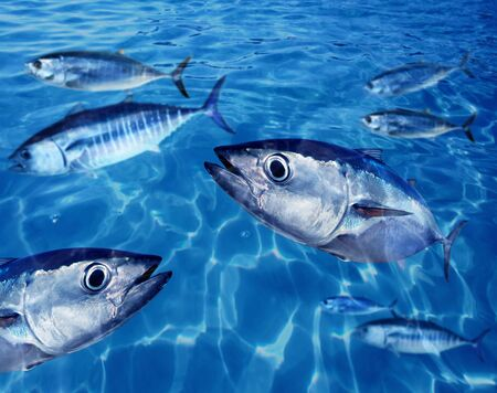 atun rojo: Oc�ano de nataci�n bajo el agua azul de escuela de at�n rojo Thunnus thynnus peces