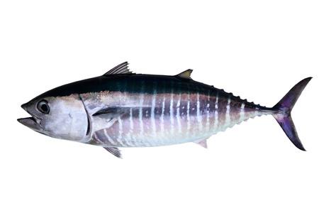 atun rojo: At�n aisladas de pescado real de fondo blanco Thunnus thynnus