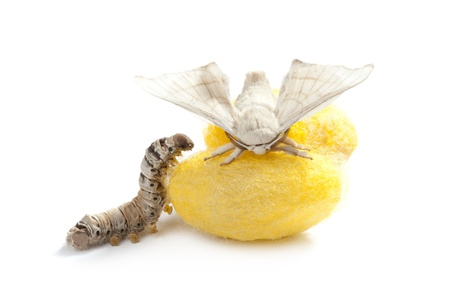 sericulture: butterfly of silkworm with cocoon silk worm showing the three life stages