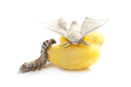 vlinder van zijderups met cocon zijden worm met de drie levensfasen