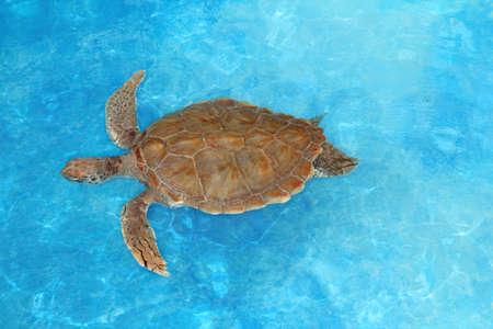 Green sea Turtle Chelonia mydas  Cheloniidae in  Caribbean sea surface photo