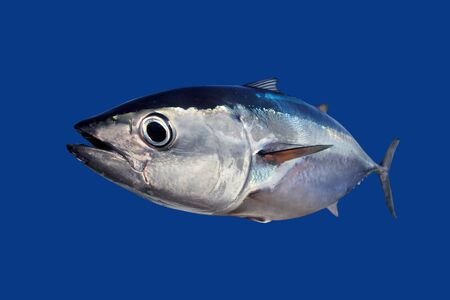 atun: At�n rojo Thunnus thynnus pescado aislada sobre fondo azul