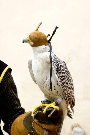 cetreria: ave rapaz de halc�n de cetrer�a en cuero de mano del guante con capucha ciega Foto de archivo