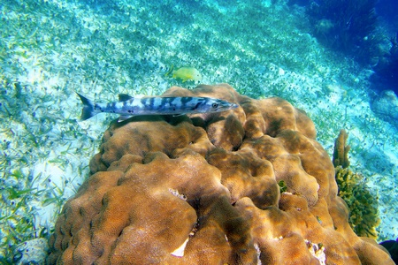 alive barracuda fish underwater over coral reel in Mayan Riviera  photo