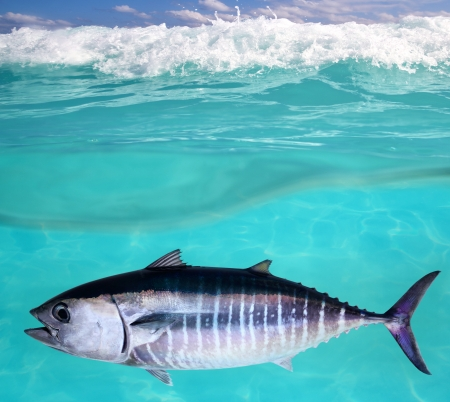 atun rojo: At�n pescado Thunnus thynnus nataci�n submarina en el mar
