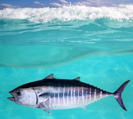 tropical fresh water fish: Bluefin tuna fish Thunnus thynnus underwater swimming in sea Stock Photo