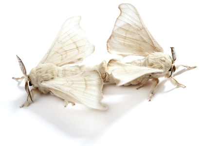 silkworm: two silkworm butterflies mating for reproduction over white background