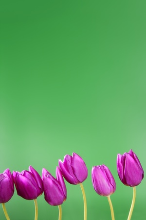 pink tulips flowers in a row line arrangement on green background photo