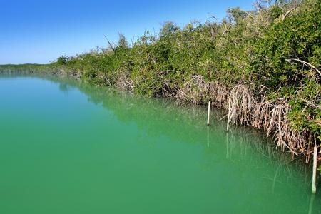 mangrove forest: lagoon mangrove shore in Mayan Riviera Mexico