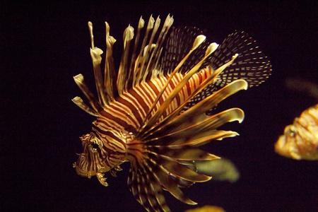 pterois: Pterois antennata  Ragged finned Firefish Lionfish Broadbarred Stock Photo