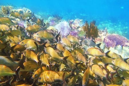 riviera maya: Caribbean sea reef yellow Grunt fish school  Haemulon flavolineatum in Mayan Riviera Mexico Stock Photo