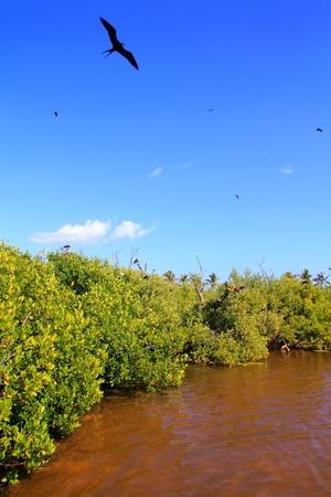 roo: frigate bird reproduction in Contoy island mangroves Quintana Roo Stock Photo
