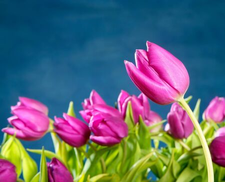 tulips pink flowers in blue studio background photo
