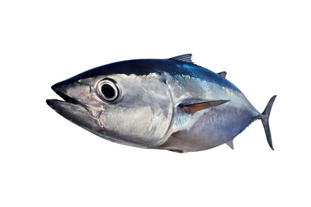 Bluefin tuna isolated on white background real fish Thunnus thynnus