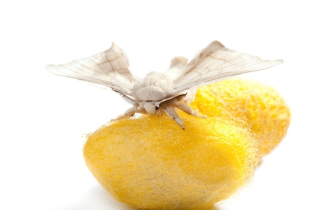 butterfly of silkworm over yellow cocoon on white background photo