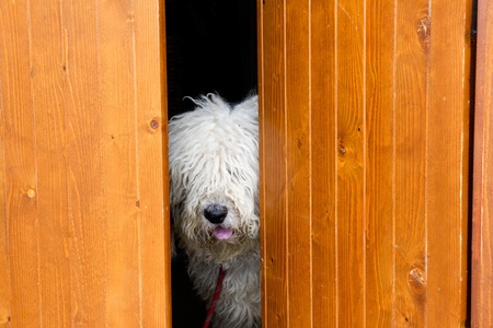 peeping: curious and shy dog hiding behind the wood door funny guard