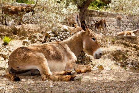 majorca: Donkey mule sitting in Mediterranean olive tree shade in Mallorca island Stock Photo