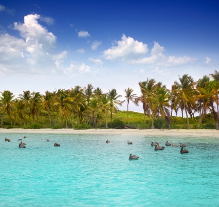 Caribbean pelican swimming in a turquoise tropical beach in Mexico Stock Photo - 10438222