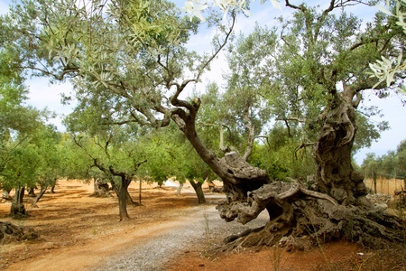 centennial olive trees from Mediterranean Mallorca island in Spain photo