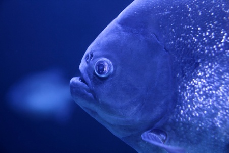 pirana: piranha fish macro face detail in blue color water