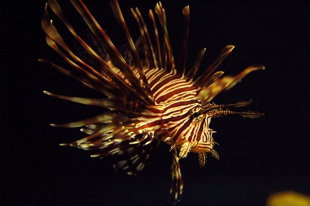 firefish: Pterois antennata  Ragged finned Firefish Lionfish Broadbarred Stock Photo