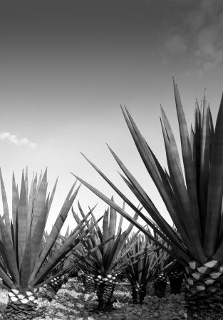 Agave tequilana plant to distill Mexican tequila liquor photo