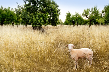 Mediterranean sheep on wheat and almond trees field in Majorca spain photo