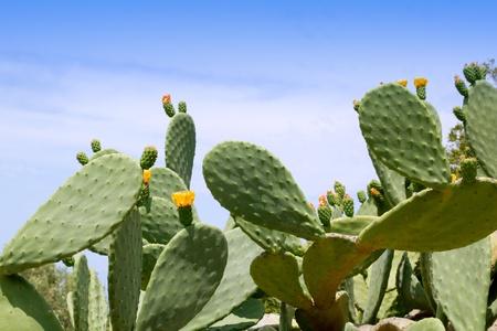 prickly flowers: chumbera nopal cactus plant under mediterranean blue sky in Majorca